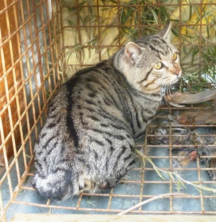 Liberan un gato montés tras permanecer en el Centro de Recuperación de Fauna Silvestre